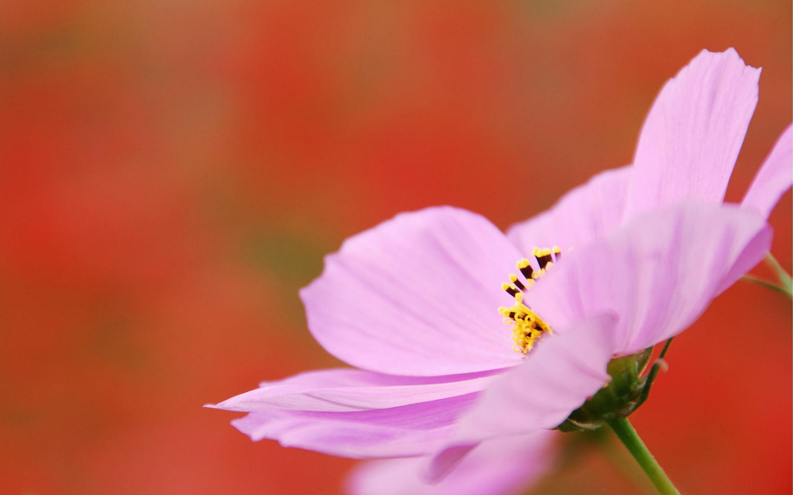cosmos flower pink
