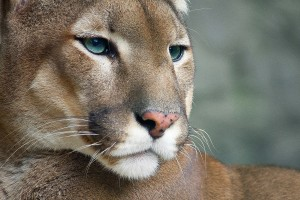cougar cute wallpaper