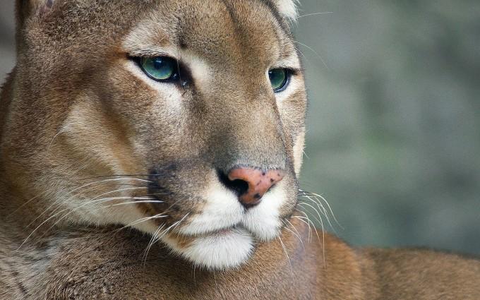 cougar cute wallpaper