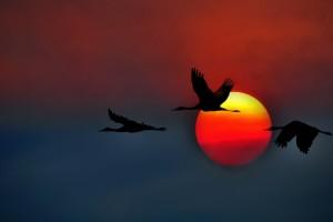 cranes flying susnet