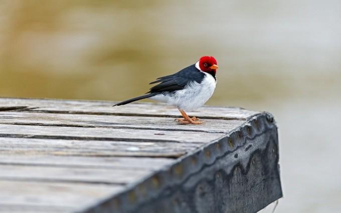 crested cardinal bird