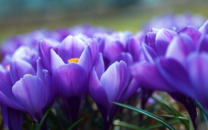 crocus flower purple