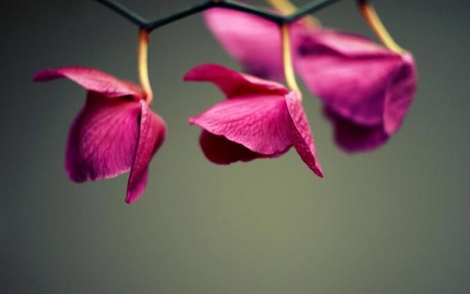 cyclamen flowers wallpaper