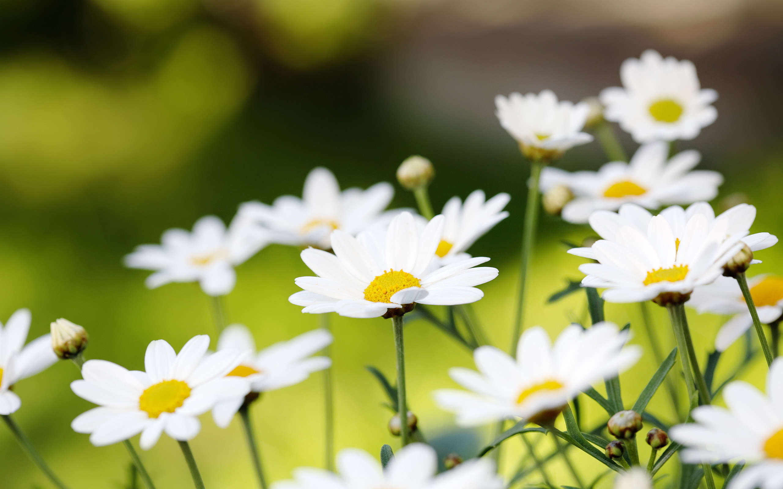 daisies flower background