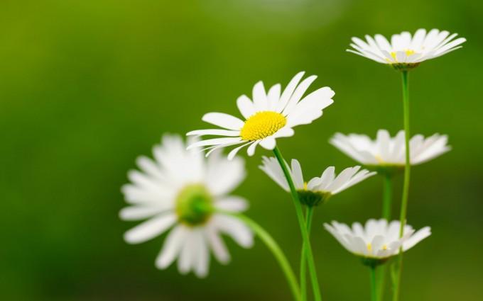 daisies white