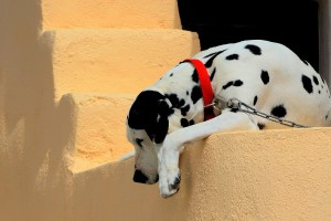dalmatian dog breed