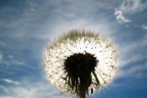 dandelion clouds