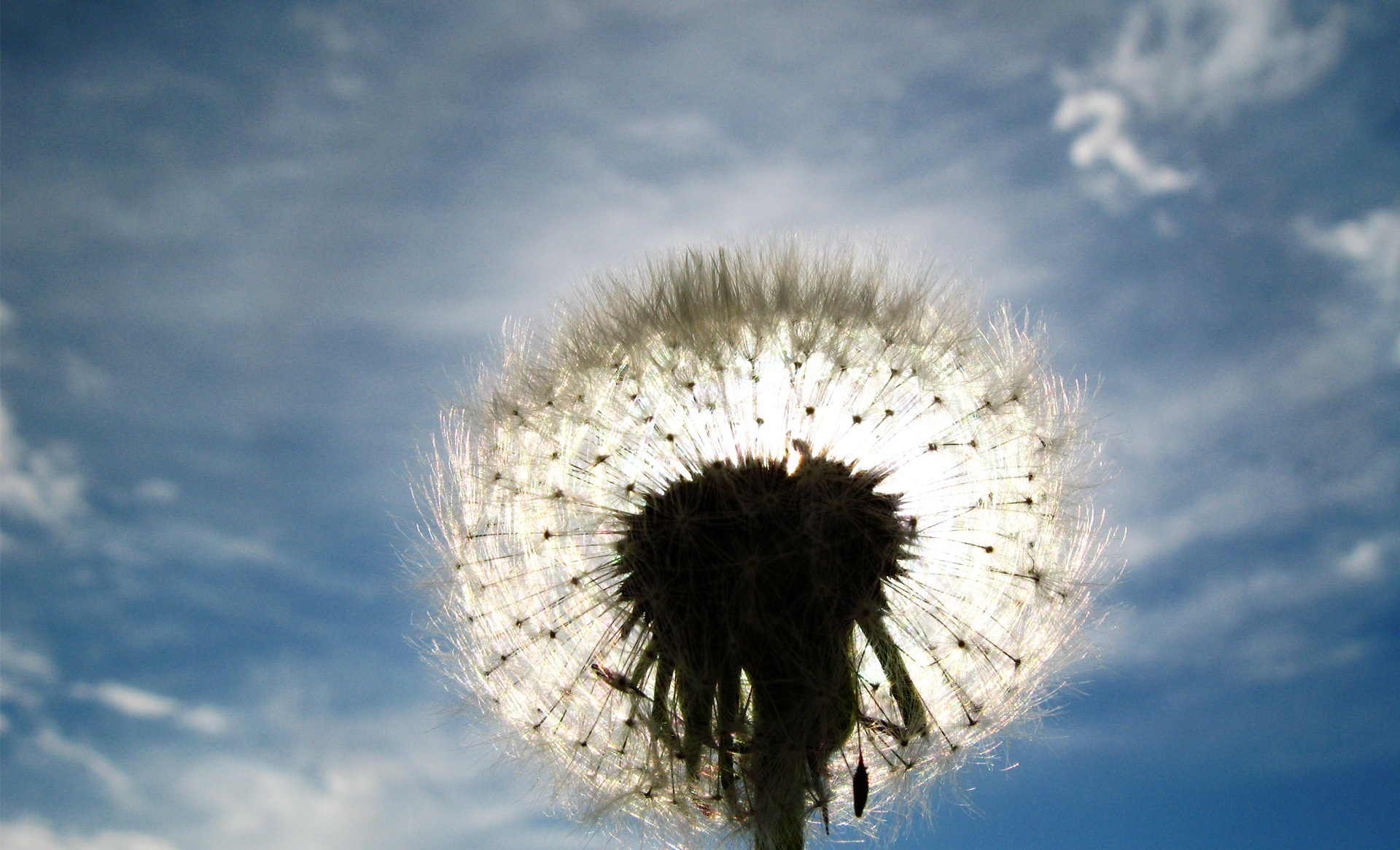 dandelion clouds