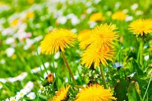 dandelions yellow
