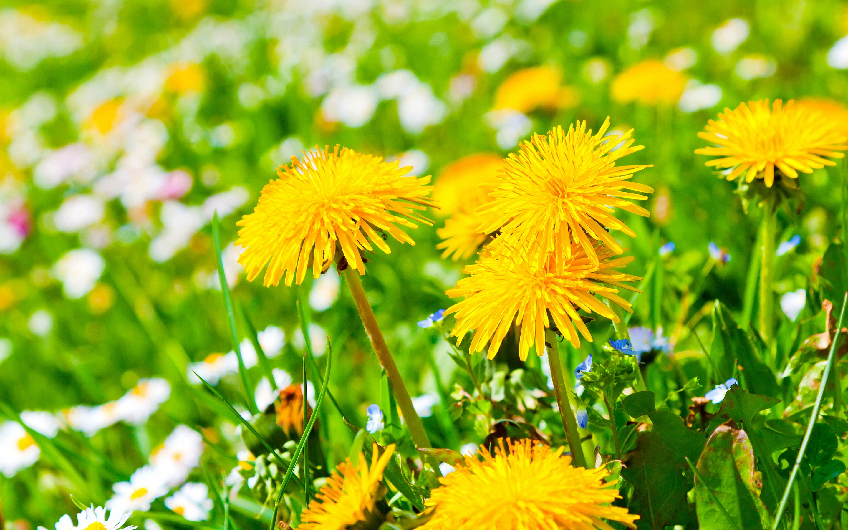 dandelions yellow