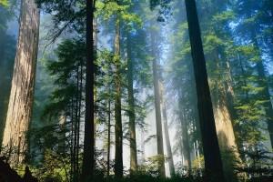 deep forest wallpaper trees