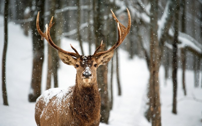 deer animal breed