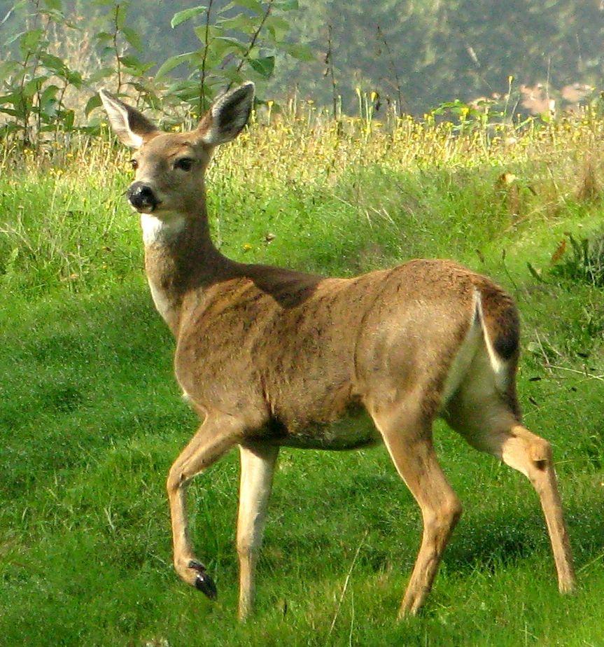 deer background download