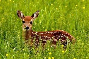 deer beautiful
