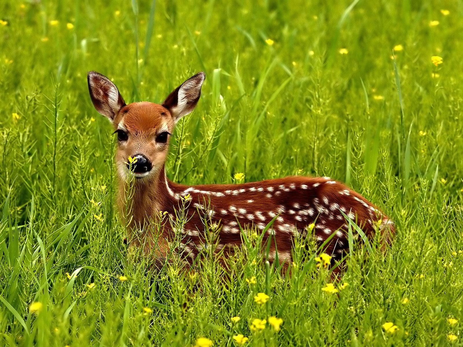 deer beautiful
