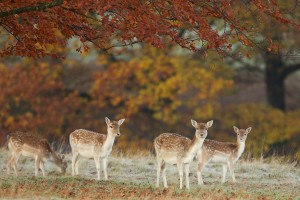 deer wallpaper beautiful autumn