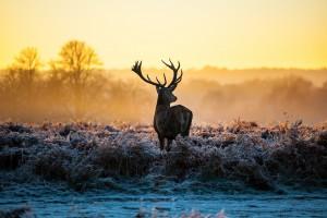 deer wallpaper pc