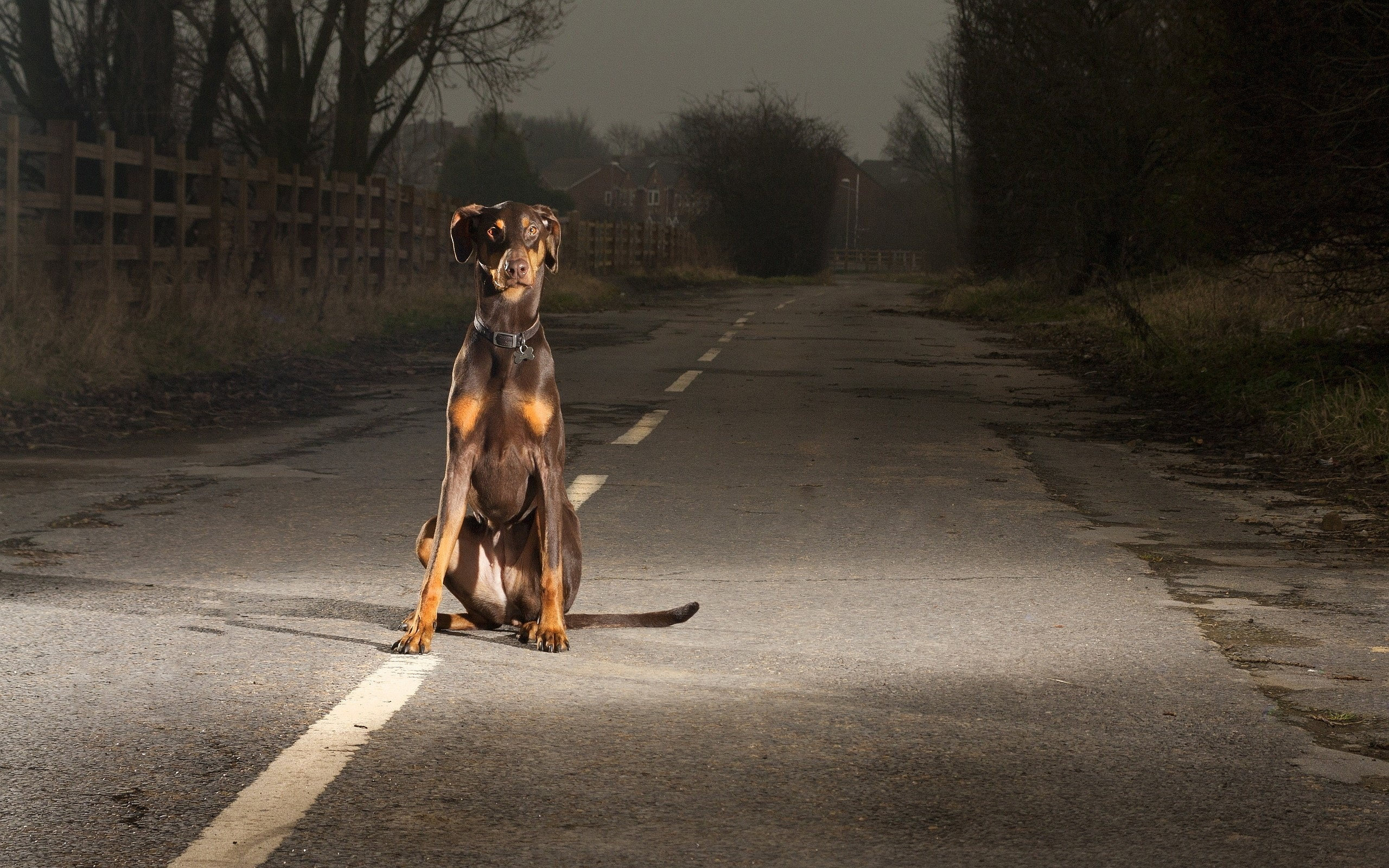 doberman photography
