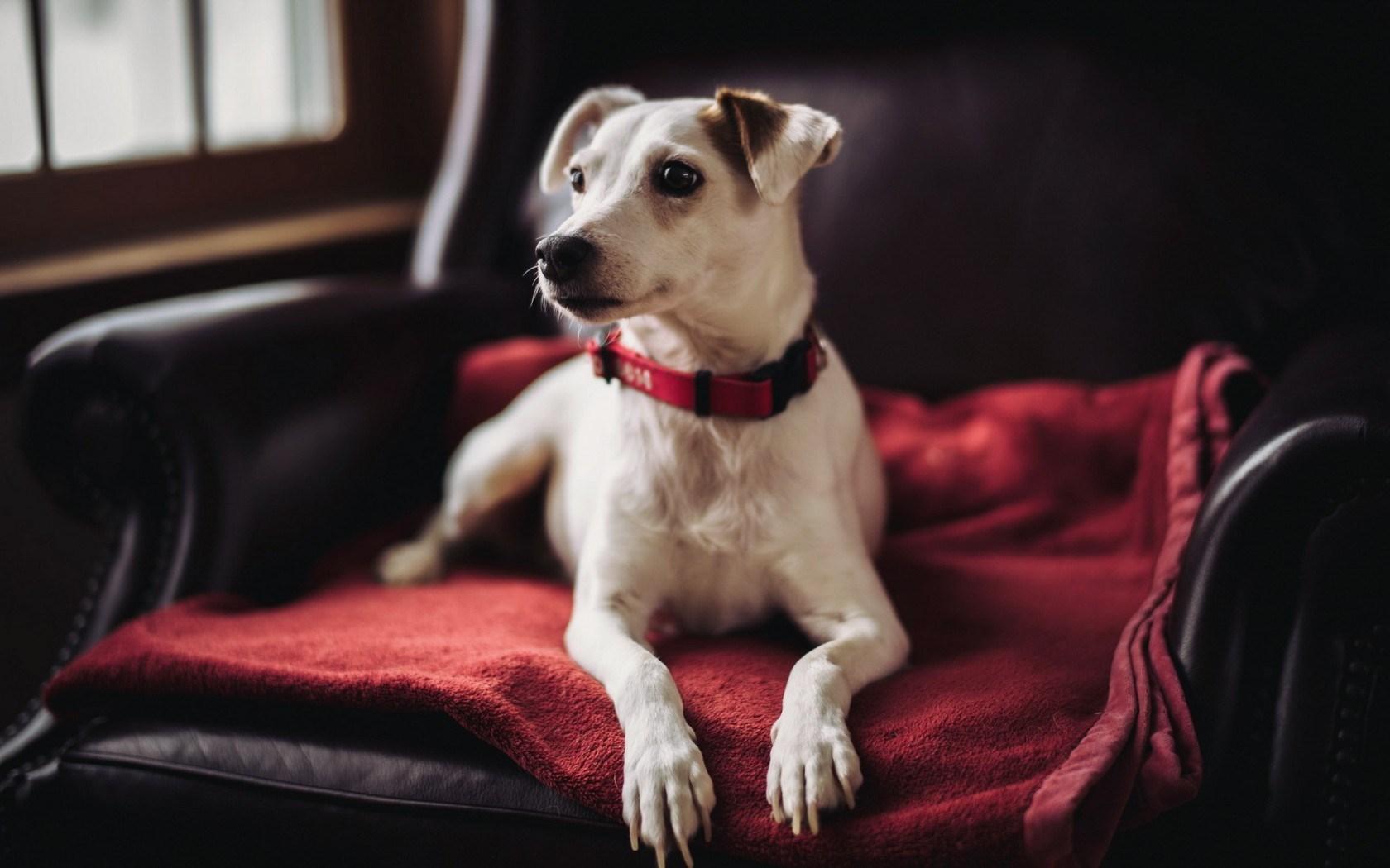 dog red wallpaper