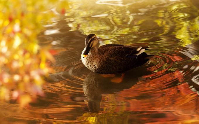 duck cute wallpaper