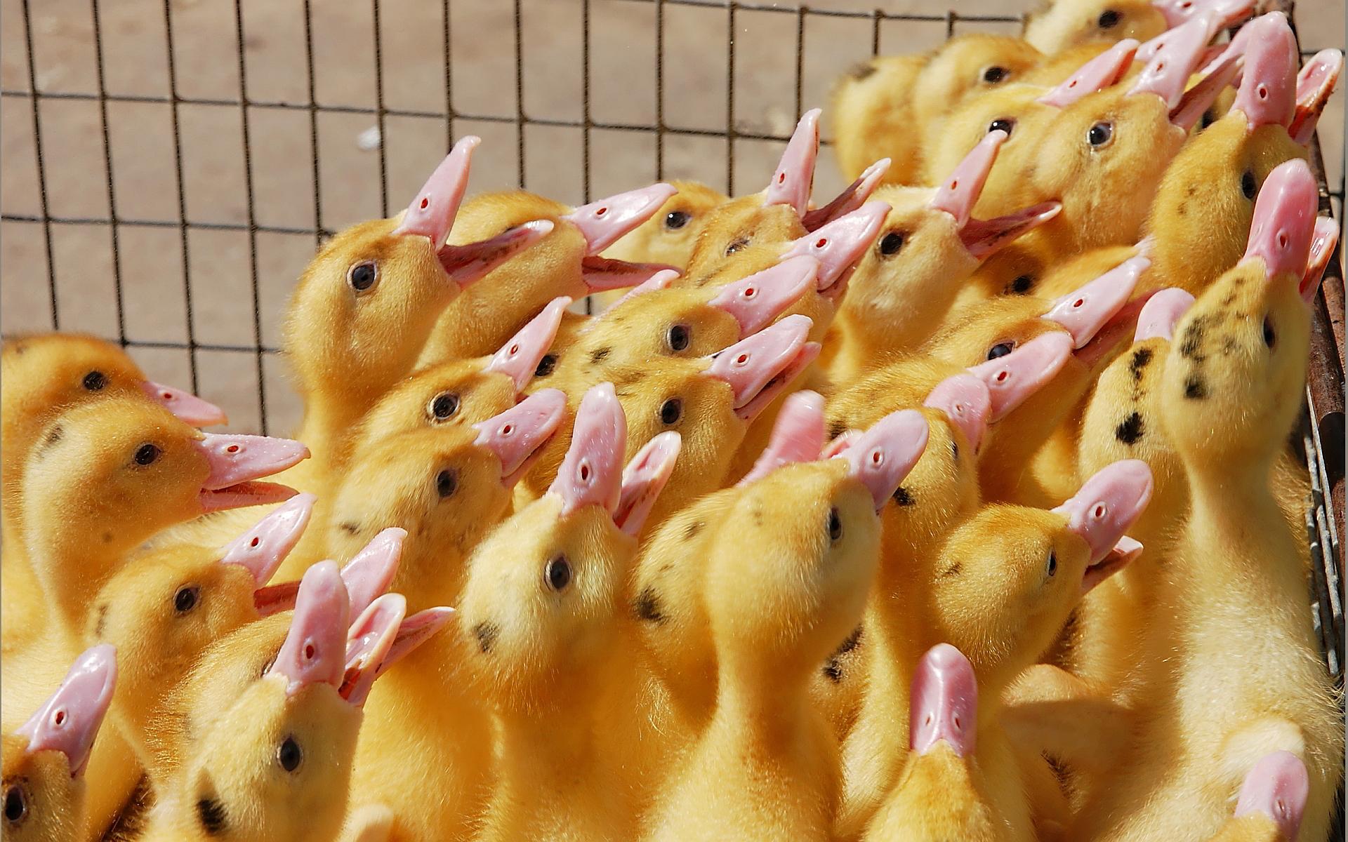 ducklings pc wallpaper