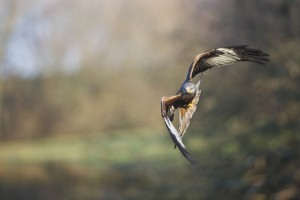 eagle flywing images