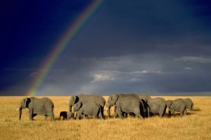 elephant herd rainbow wallpaper