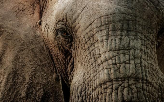elephant macro wallpaper