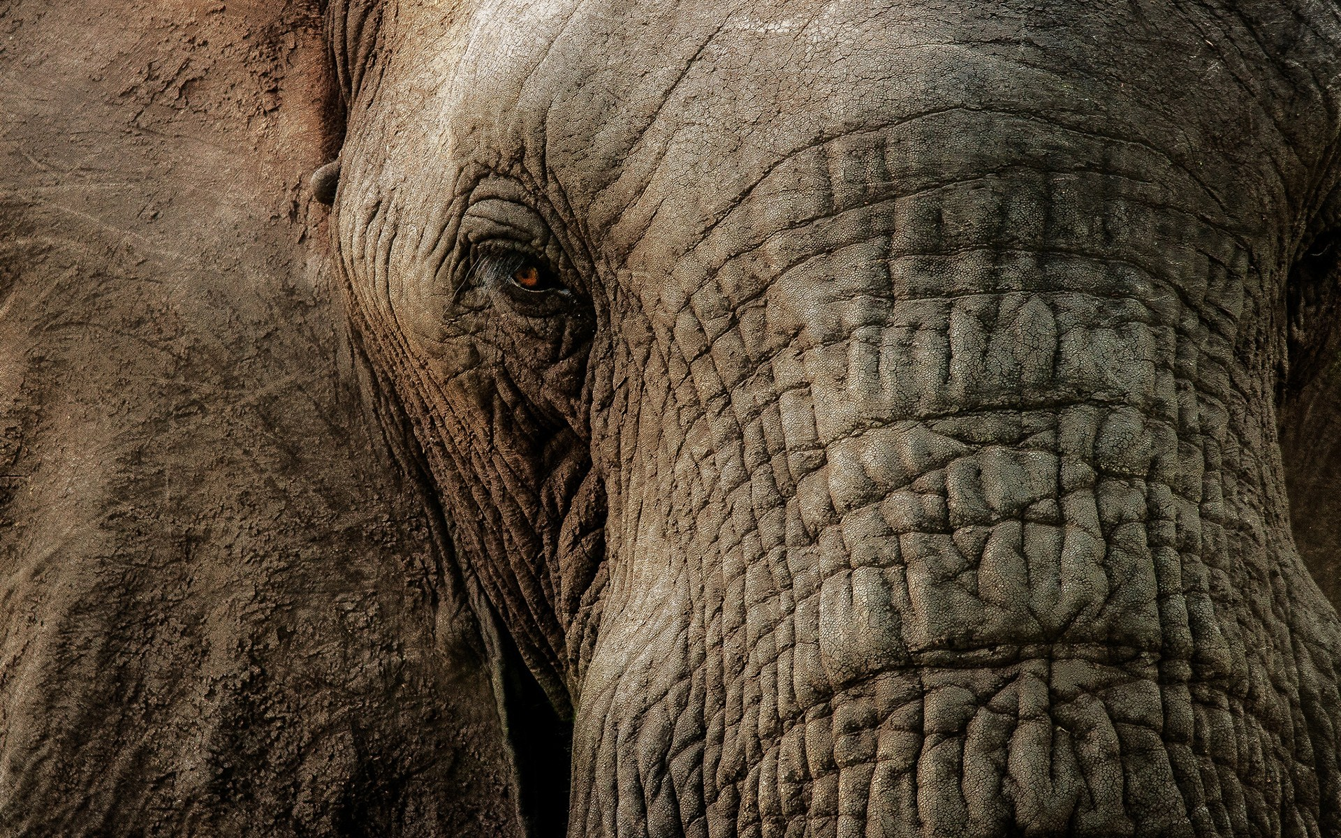 elephant macro wallpaper - hd desktop wallpapers | 4k hd