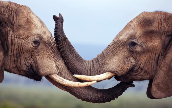 elephants wallpaper hd
