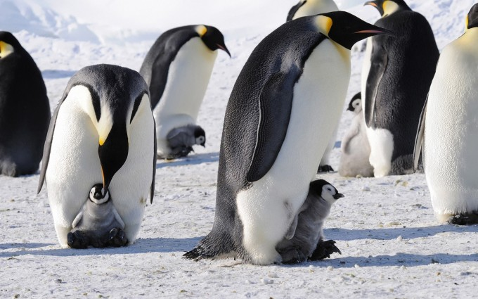 emperor penguins wallpaper