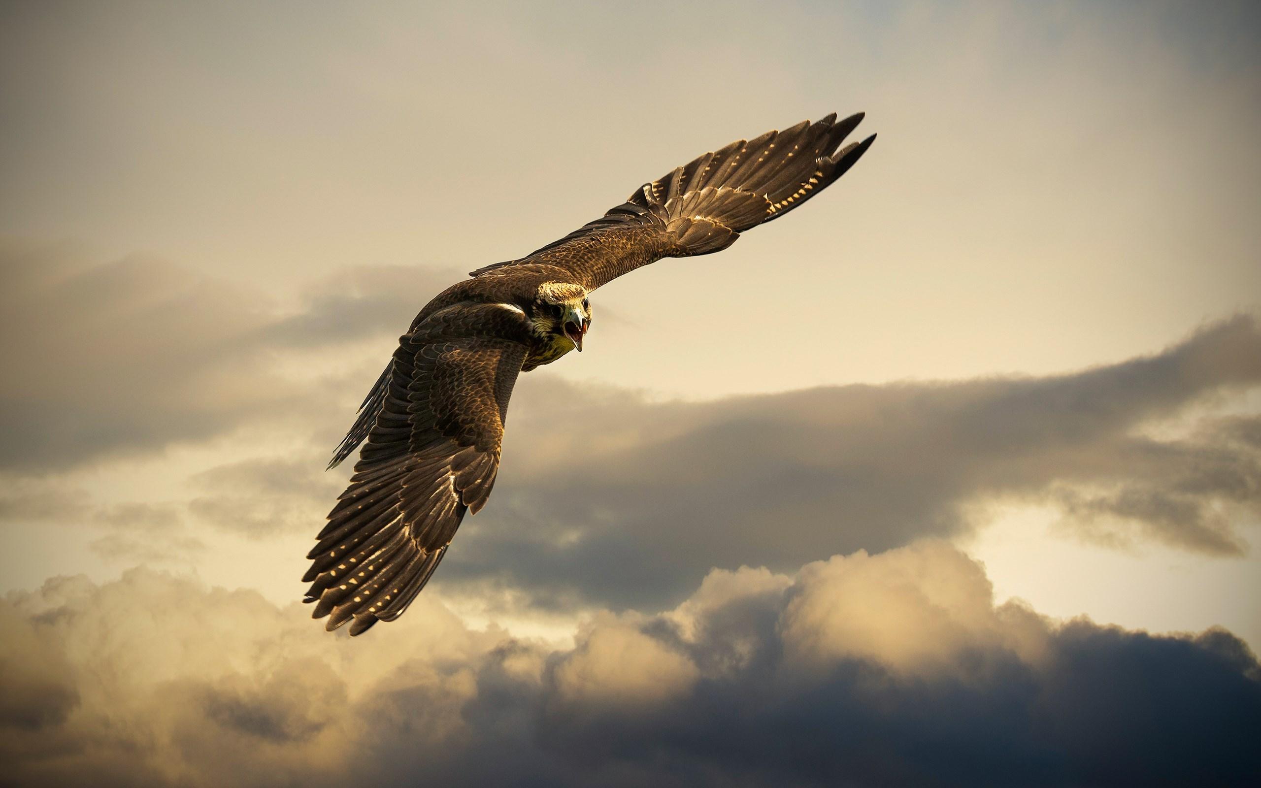 falcon beautiful
