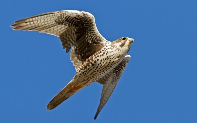 falcon bird magnificent
