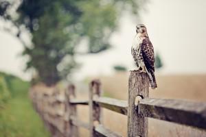 falcon eagle