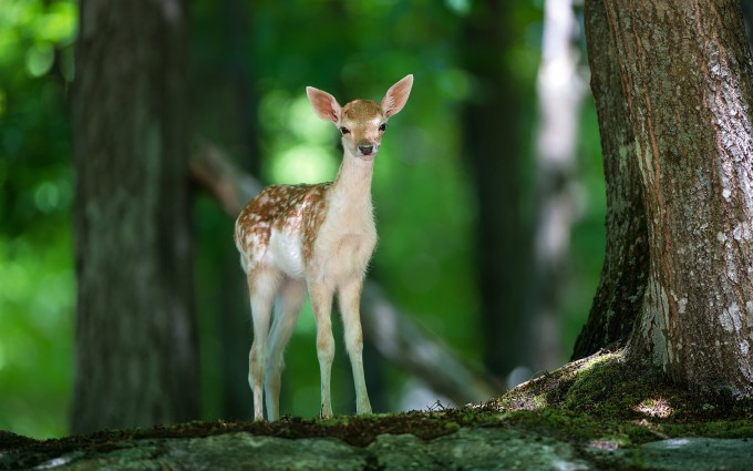 fawn deer images