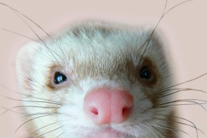 ferret funny wallpaper