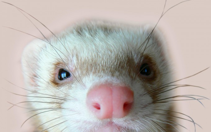 ferret funny wallpaper