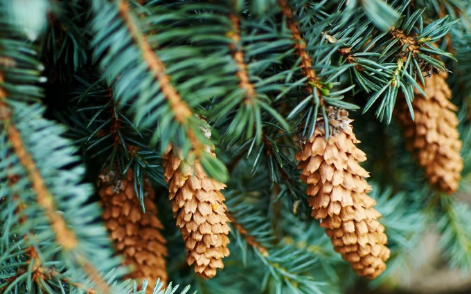 fir cones nature