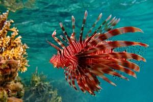fire fish beautiful