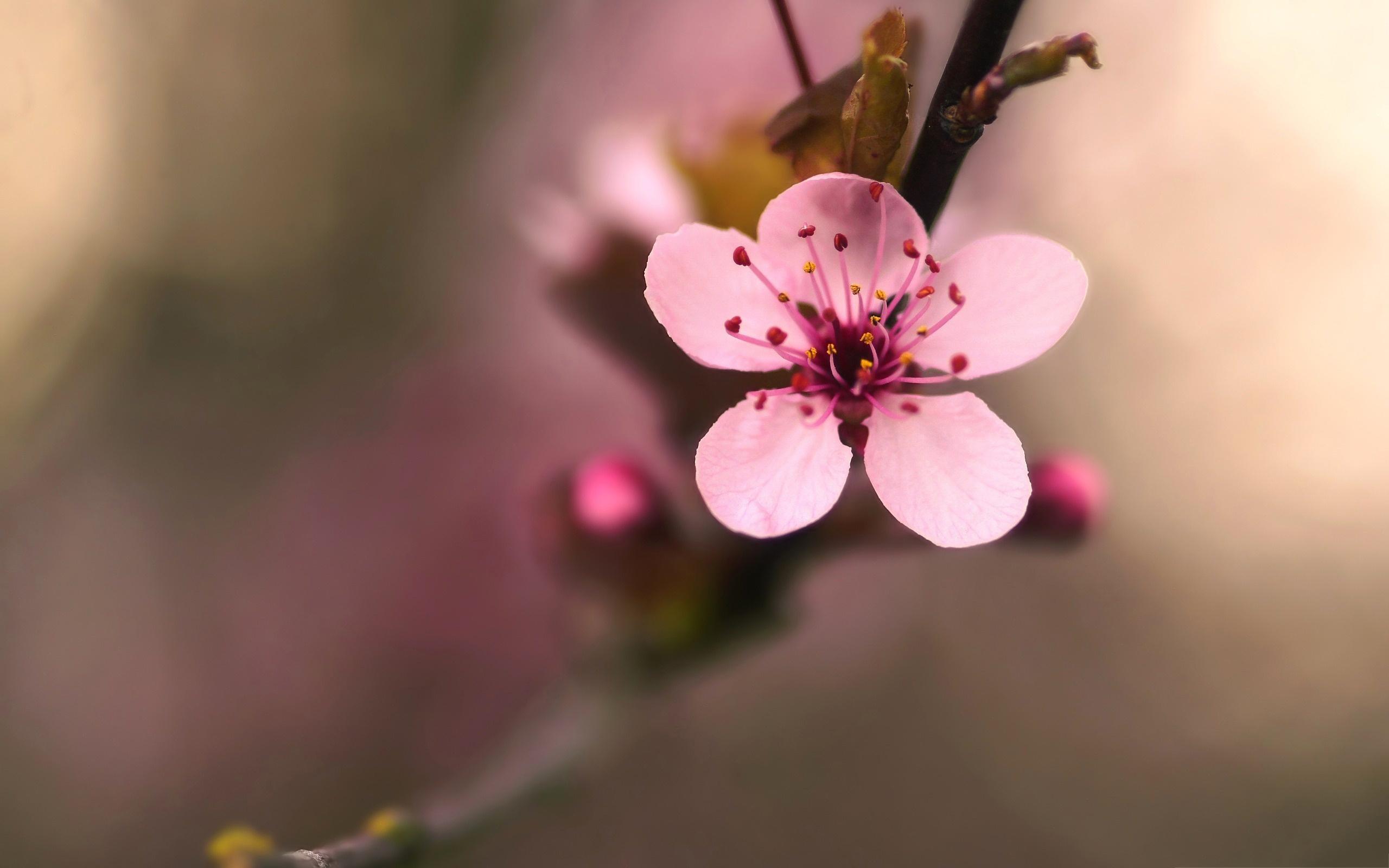 flowering cherry blossom