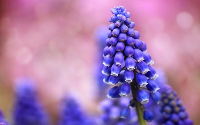 flowers muscari