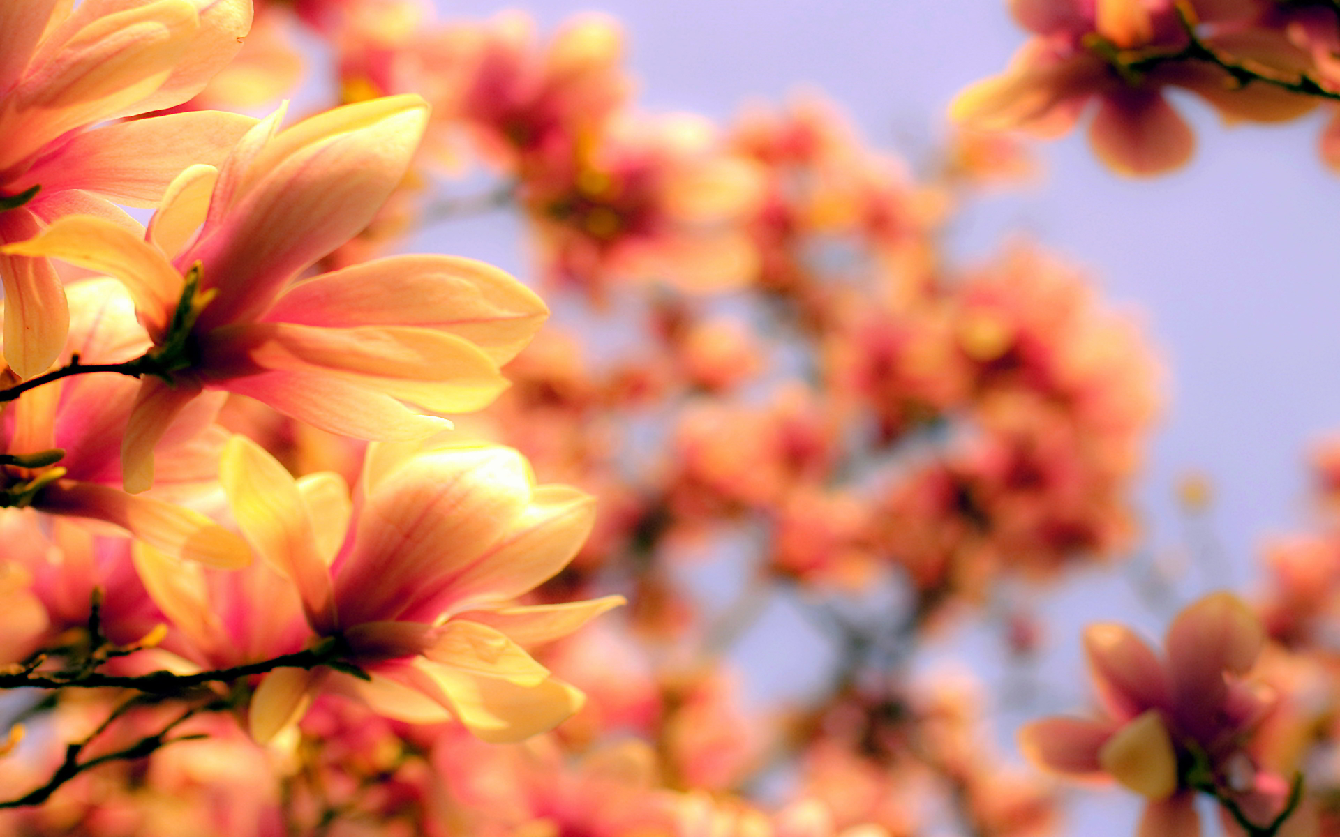 flowers wallpaper blurred orange