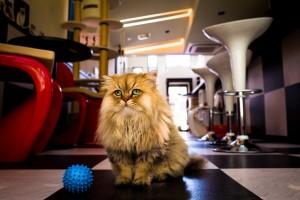 fluffy cat desktop background