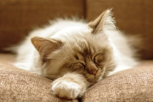fluffy cat images