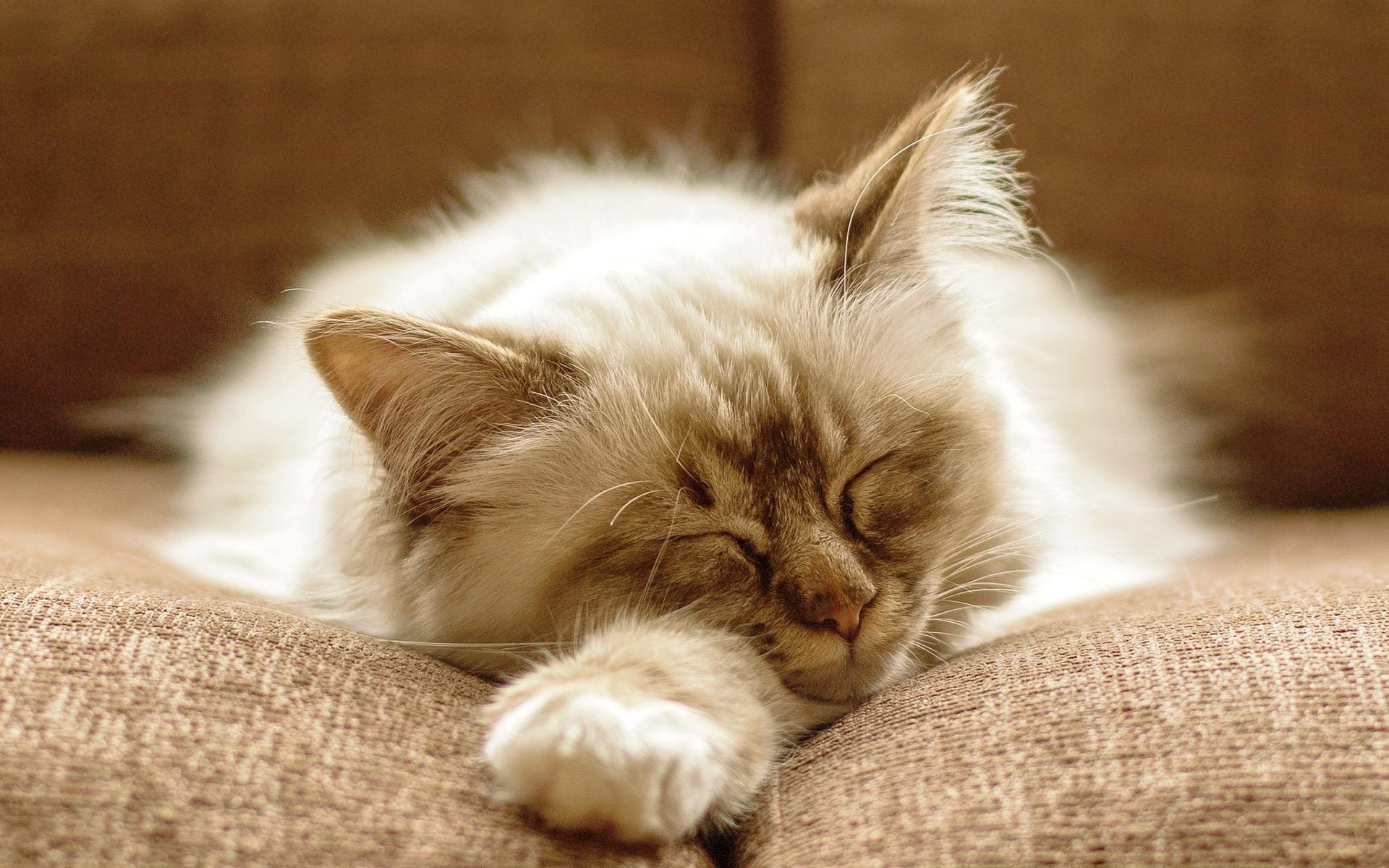 Fluffy Cat Images Hd Desktop Wallpapers 4k Hd