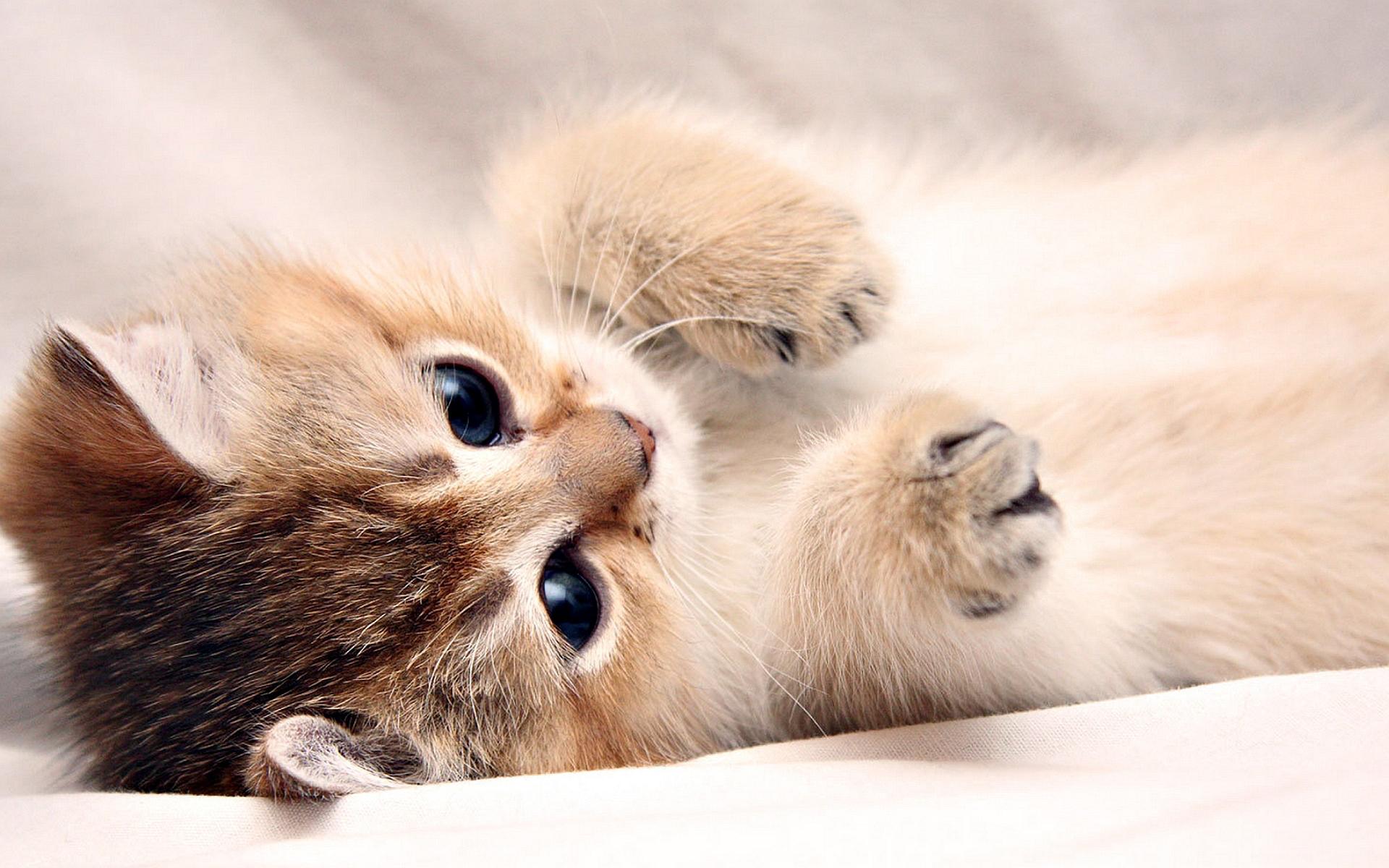 fluffy kitty wallpaper