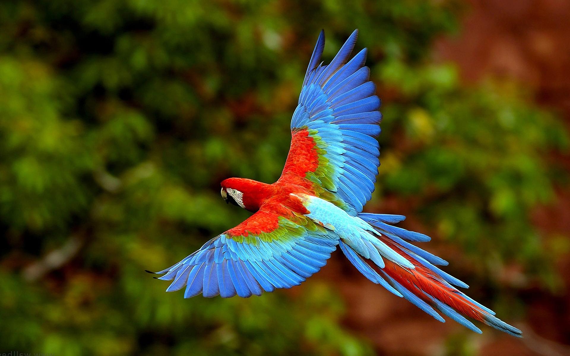 flying parrot wallpaper