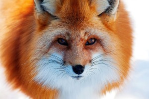fox fluffy images