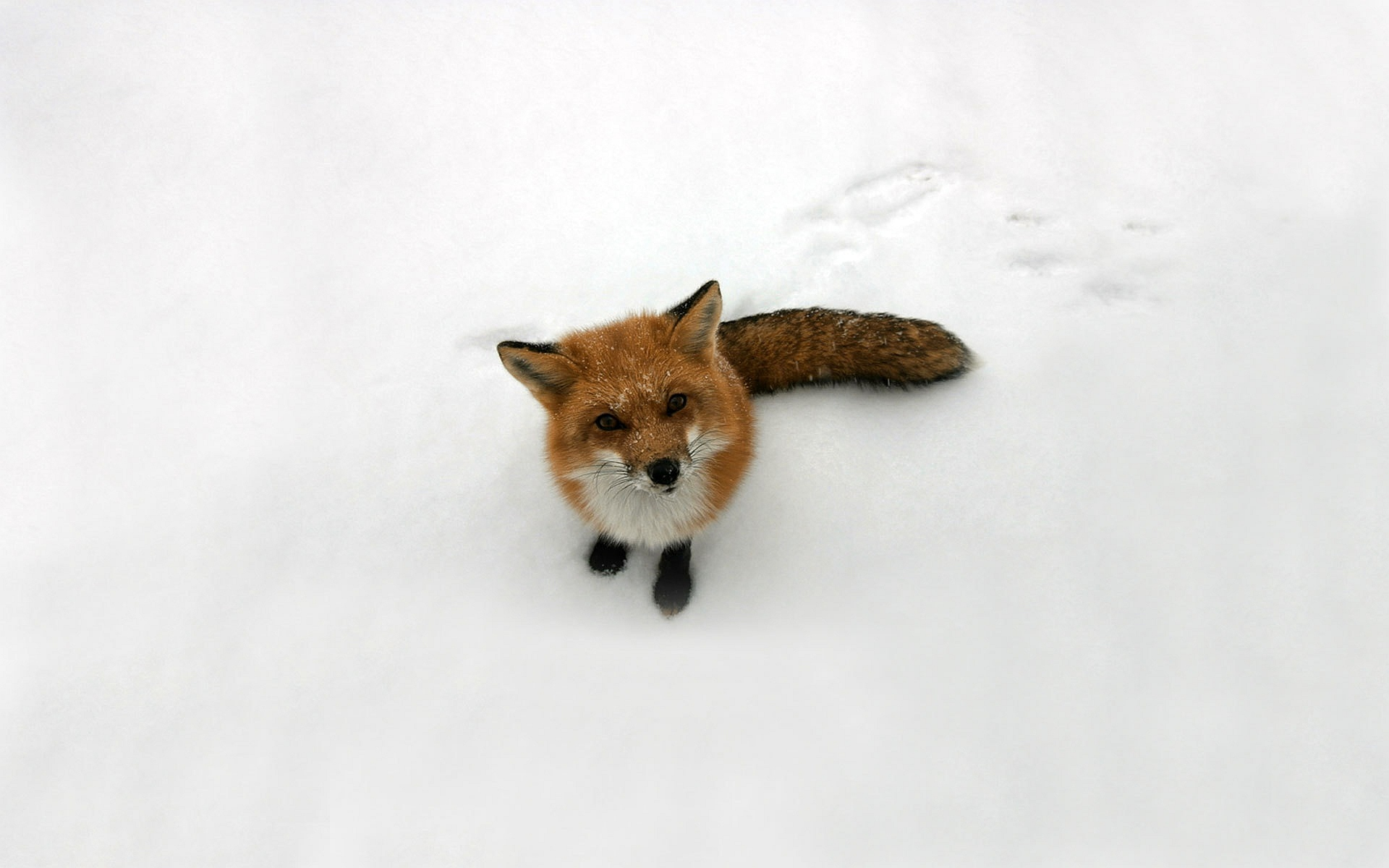 fox images