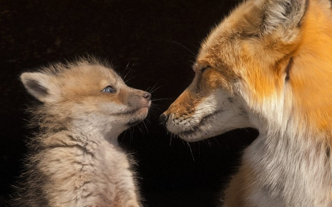 fox puppy cute wallpaper